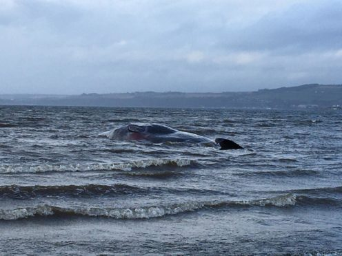 The beached whale washed ashore near Ardersier.