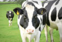 There are now less than 900 dairy herds in Scotland.