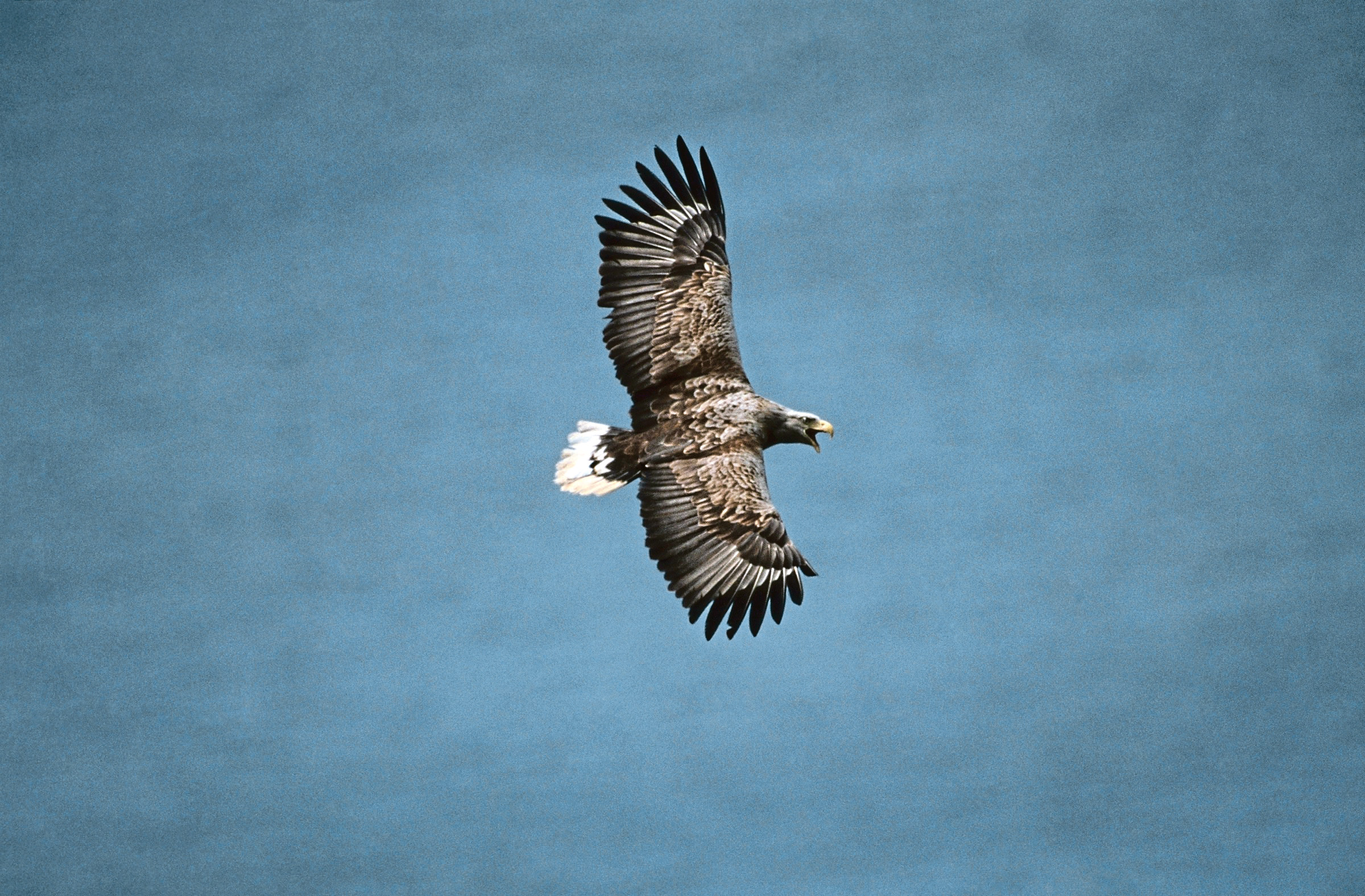 Adult white-tailed eagle in flight over the sea.