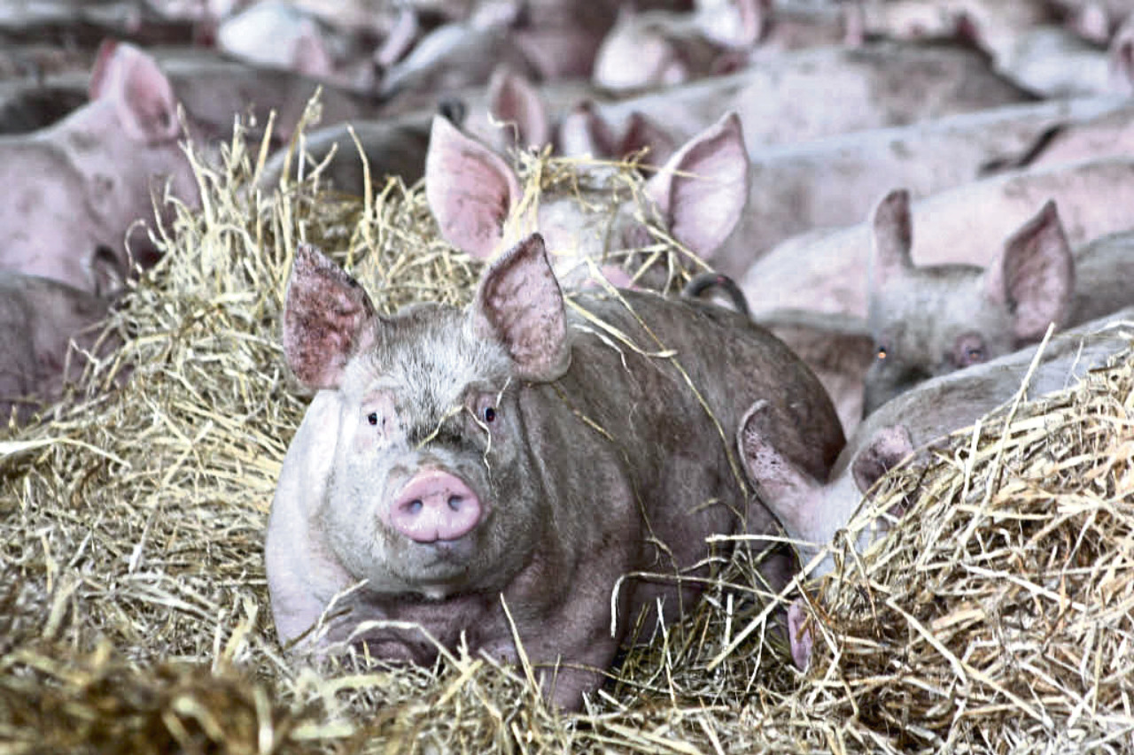 Experts say it is only a matter of time before the arrival in Britain of African swine fever, which has killed a quarter of the world's pigs.