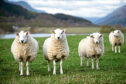 Generic photograph of some sheep.