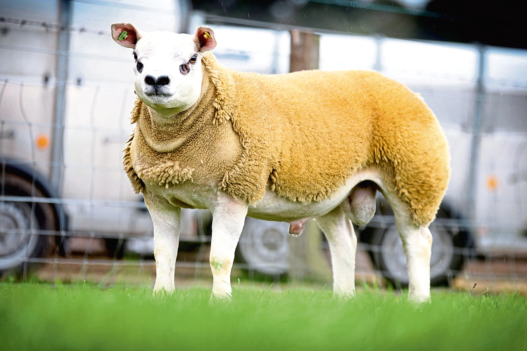 Rhaeadr Best Of The Best sold for 125,000gn at the Texel sale in Lanark in August 2018.