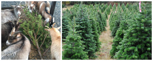 An appeal has been lodged to find a better use than the landfill for unwanted Christmas trees