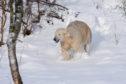 Hamish the polar bear having fun in the snow.