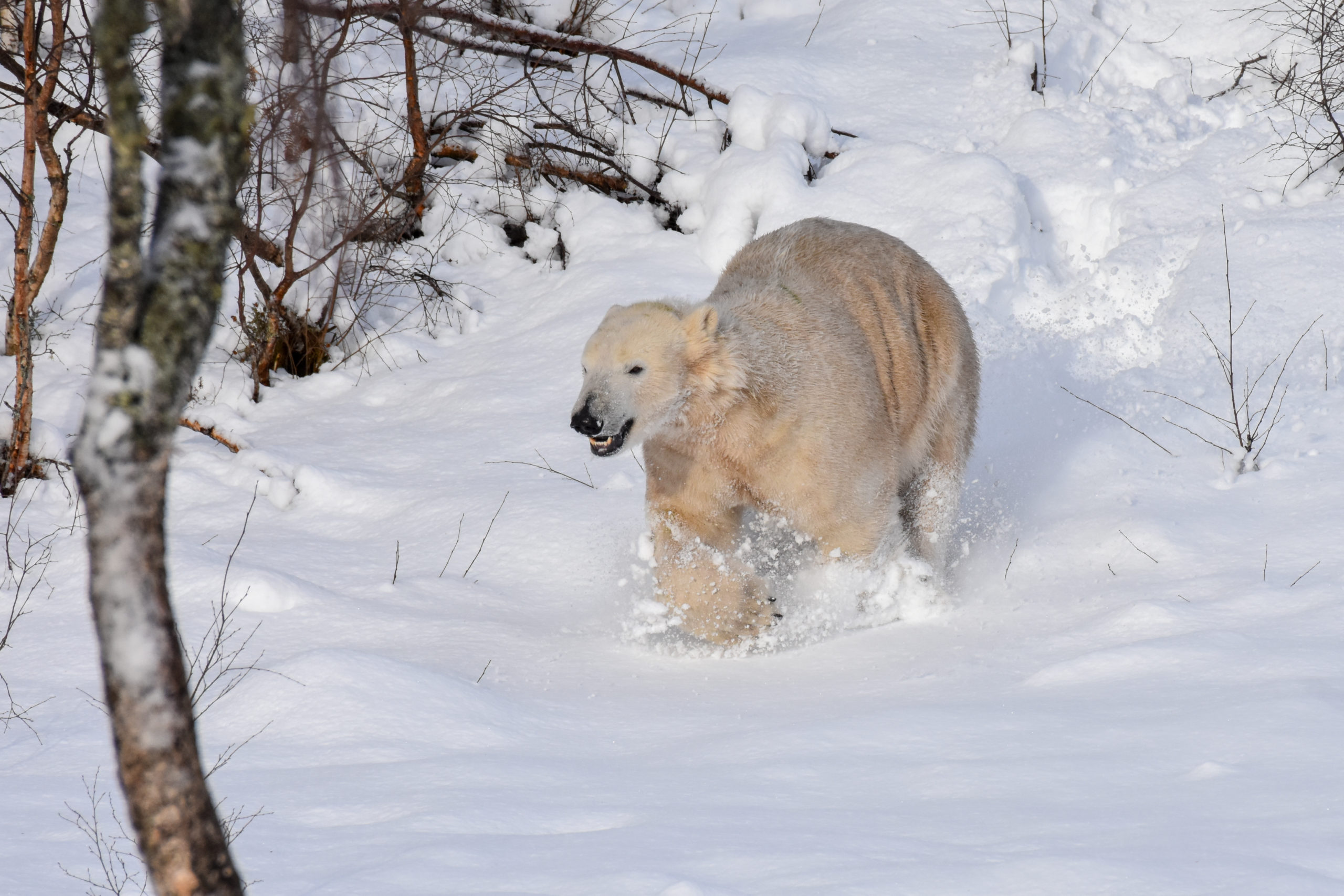 Hamish the polar bear having fun in the snow.