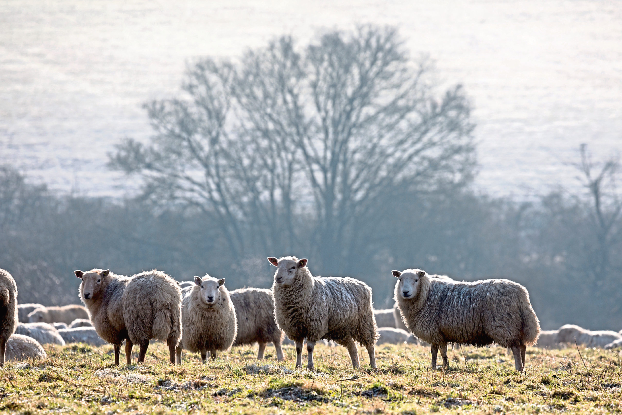 A lot of single lambs were marketed straight off the grass, catching the trade early on.