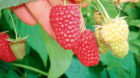 The firm is investing to create new varieties of soft fruit.