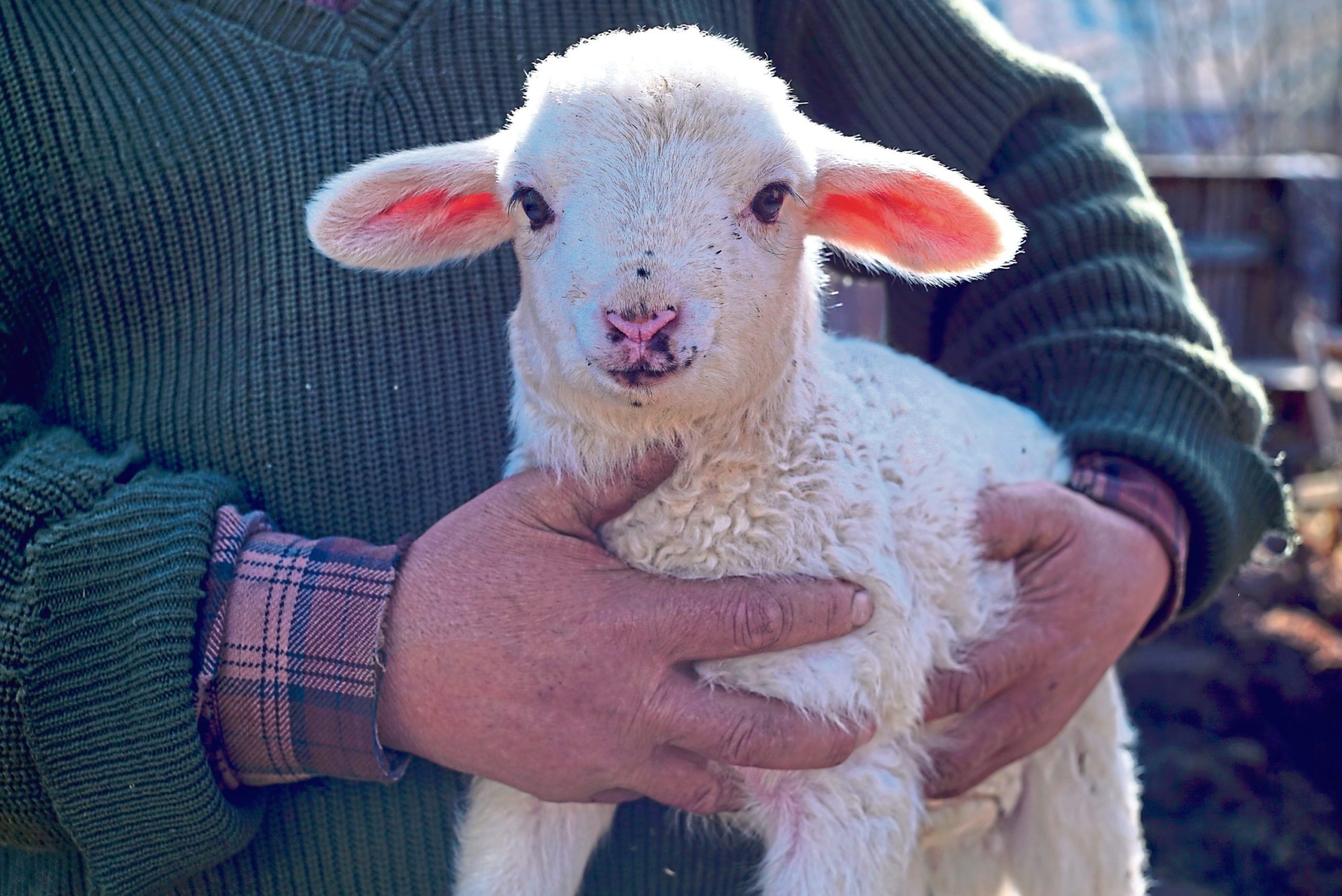 RSABI has urged farmers to look out for signs of stress at lambing.