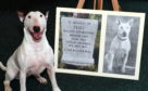 Bull terrier Billie-Jean. Picture by Kami Thomson