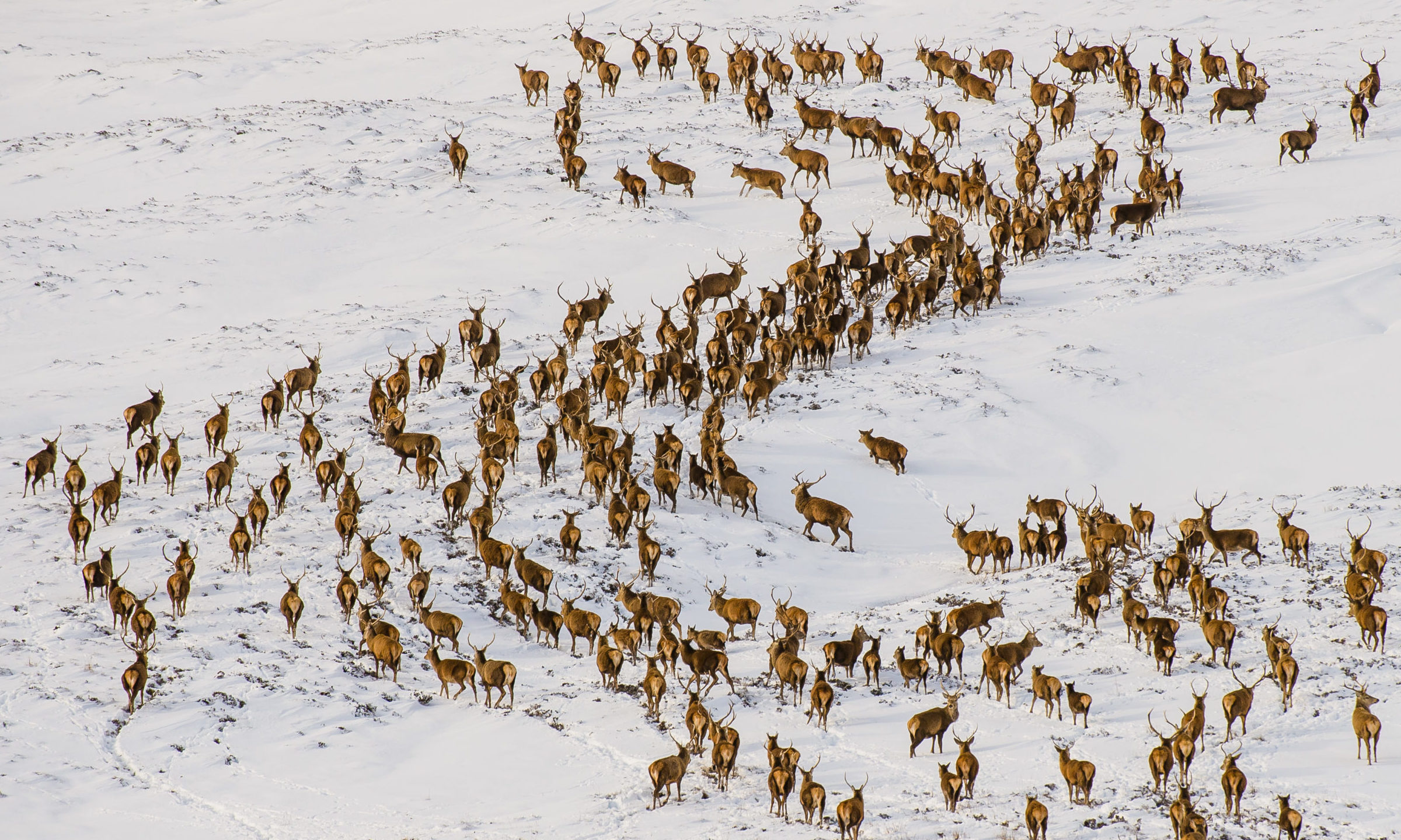 A herd of stags and hinds are spotted in the snowy Glenshee mountains in Scotland.  Credit: Euan Cherry