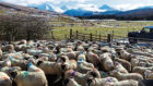 Blackface and Lleyn sheep at scanning at Kirkton and Auchtertyre