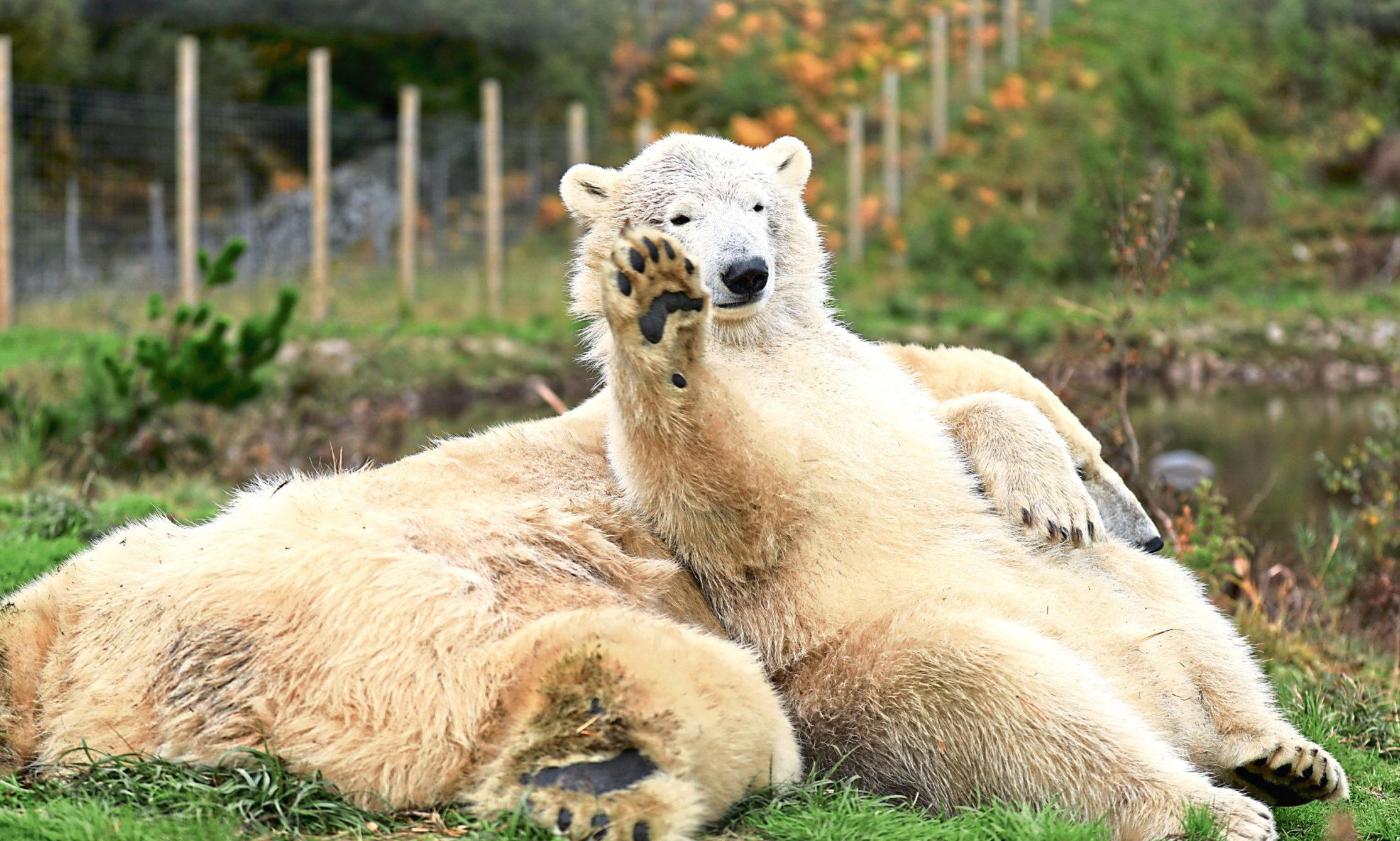 Hamish the polar bear at Highland Wildlife Park.