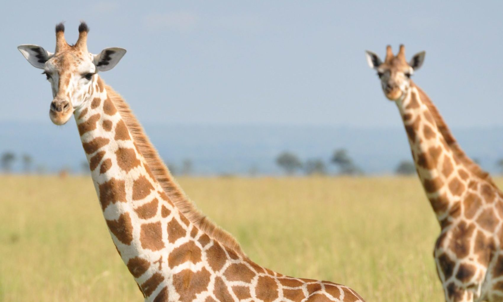 Giraffes are an endangered sopecies in parts of Africa. Pic: GCF.