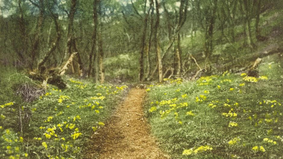 Primroses at the Fairy Glen, taken by Louise Carnegie