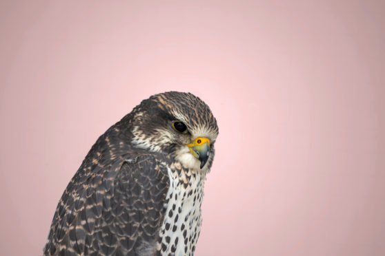 A Gyrfalcon has been spotted on Orkney.