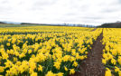 Grampian Growers decided to stop picking daffodils last week.