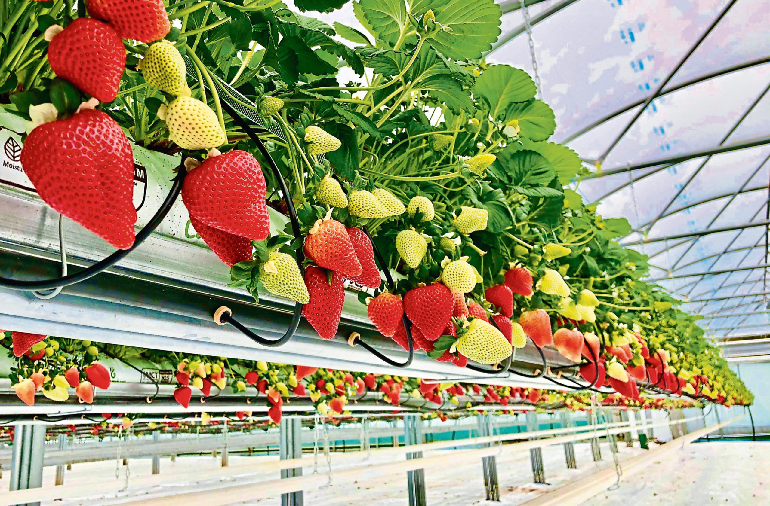 Seahills greenhouses at Auchmithie are packed with premium strawberries which are hard to sell.
