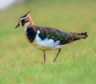 Lapwings are among the waders at risk of decline.