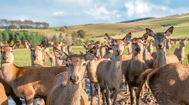 New market research on venison is good news for the nation's wild sector and for Scotland's deer farmers.