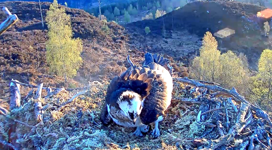 The osprey laying her eggs above East Block woodland, Loch Arkaig, Scotland