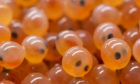 A close-up look at some fish eggs