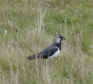 One of the rare birds, a Lapwing