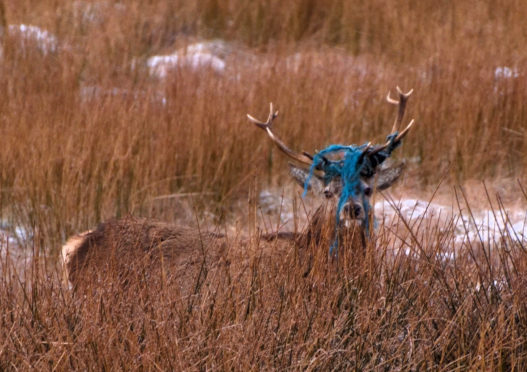 A discarded piece of blue nylon rope has become entangled in the stags antlers. Picture by Morris Macleod