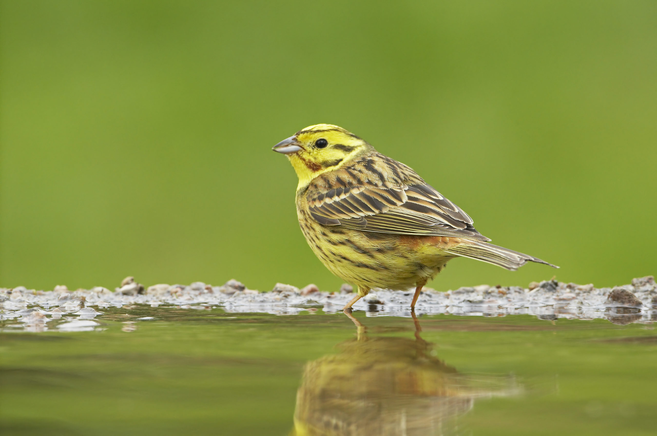 Mandatory Credit: Photo by Tony Hamblin/Flpa/imageBROKER/Shutterstock (5301526a) Yellowhammer (Emberiza citrinella), adult male, drinking, standing at edge of pond, Scotland, United Kingdom, Europe VARIOUS