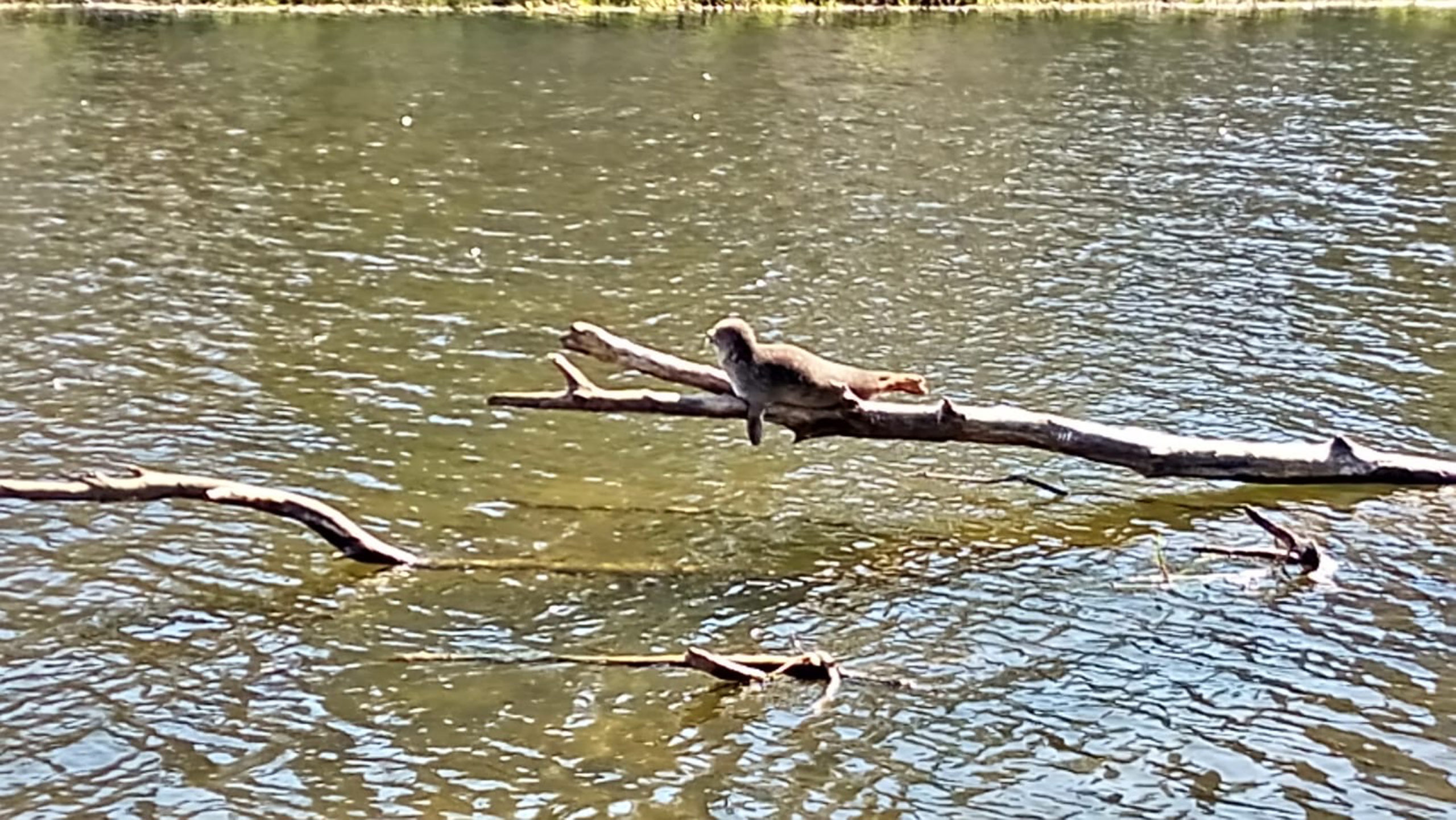 The seal spotted on the tree branch by the River Don. Picture by Jamie Durent.