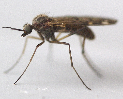 Midges will be making an appearance this weekend.