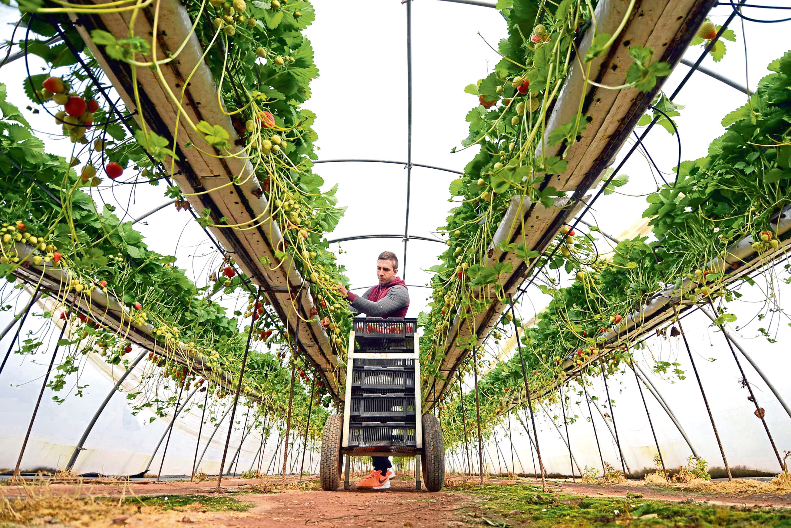 Efforts are being made to recruit UK workers to pick fruit and vegetables during the Covid-19 crisis.