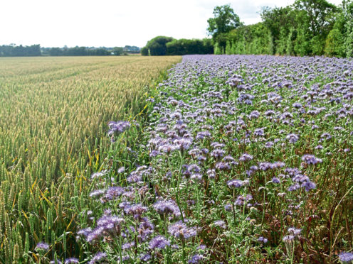 A cover crop of phacelia growing in a field margin.