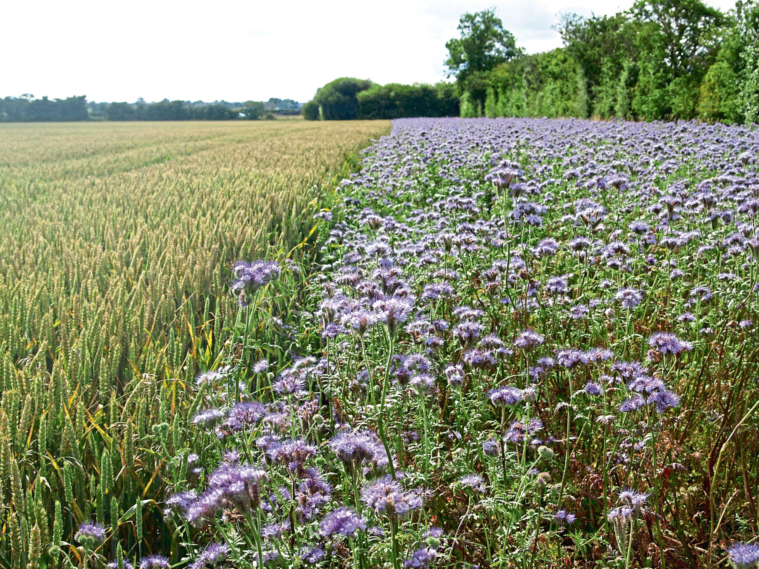 A cover crop of phacelia growing in a field margin.