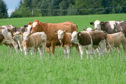 It is hoped new rules will help in the eradication of BVD.