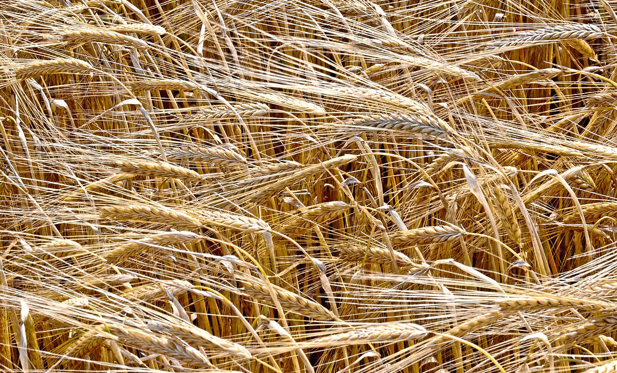 Researchers say they have a better understanding of barley quality now.