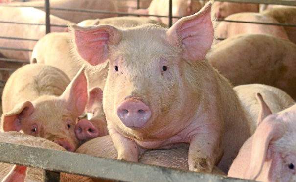 Pig farmers are losing around £20 per pig produced, according to the NPA.