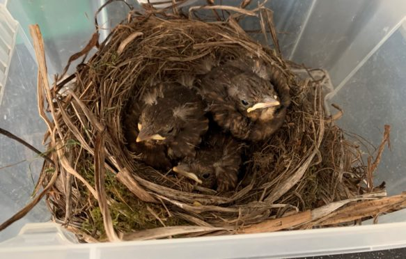 John MacDonald took the chicks in after discovering the damaged nest at the boundary fence.