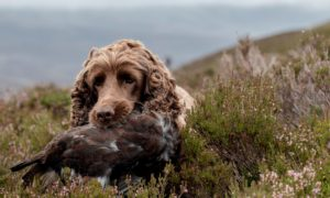 A working dog retrieving a red grouse for the food chain. Grouse shoots could be the key to economic recovery in some remote communities.