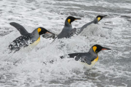 King Penguins coming ashore on Gold Harbour beach, South Georgia. Picture by Paul Glendell