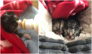Some of the kittens Wisck is caring for.