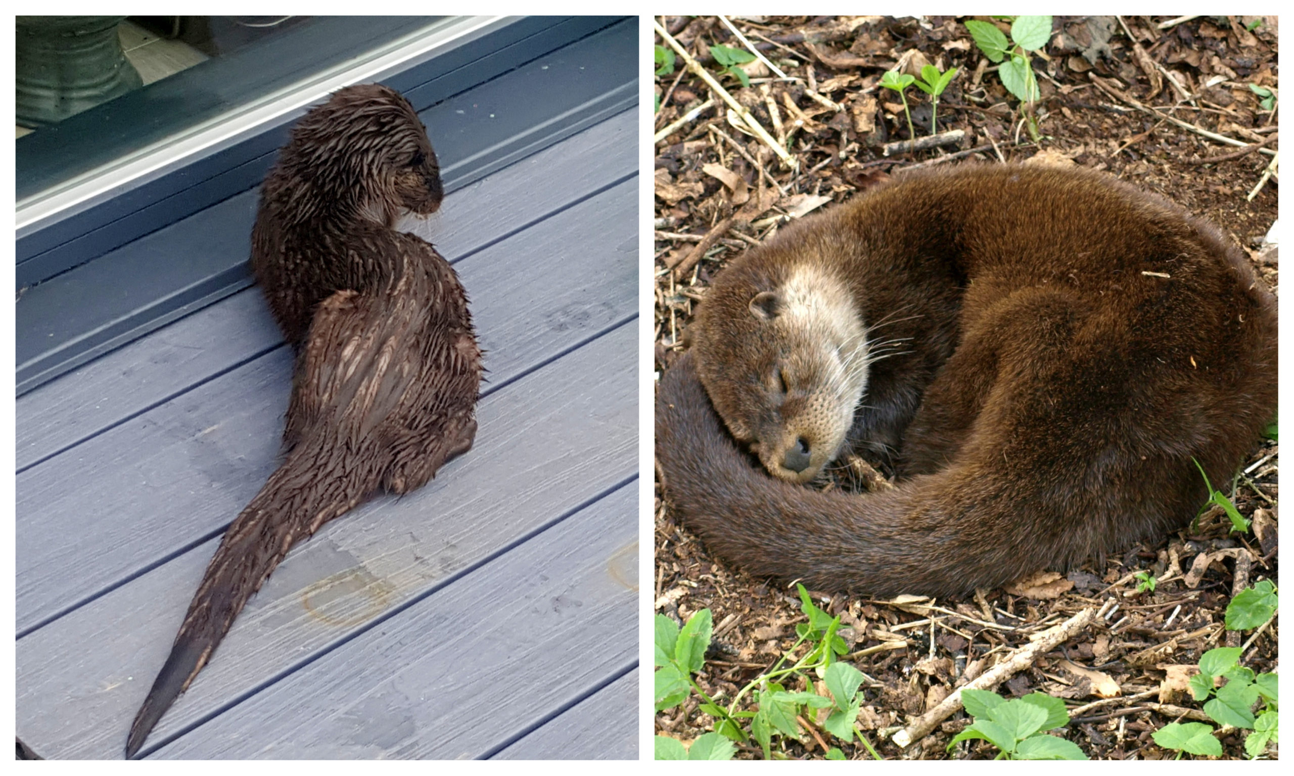 The otter appeared twice at Ms Matthew's home for a feed