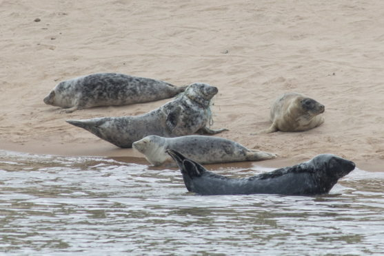 The seal was spotted on the beach at Forvie National Nature Reserve in Newburgh, Aberdeenshire. Picture by Paul Glendell