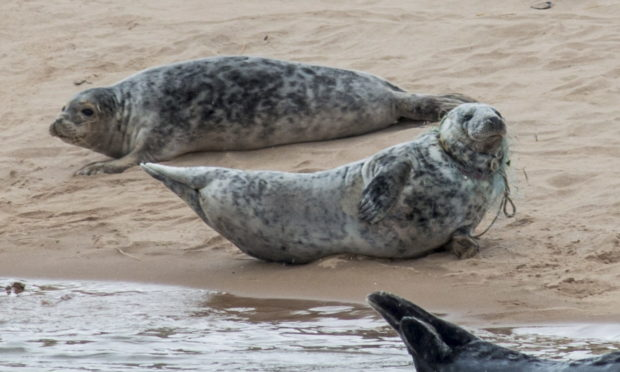 A seal has been spotted on an Aberdeenshire beach with a fishing net entangled around its neck. Picture by Paul Glendell