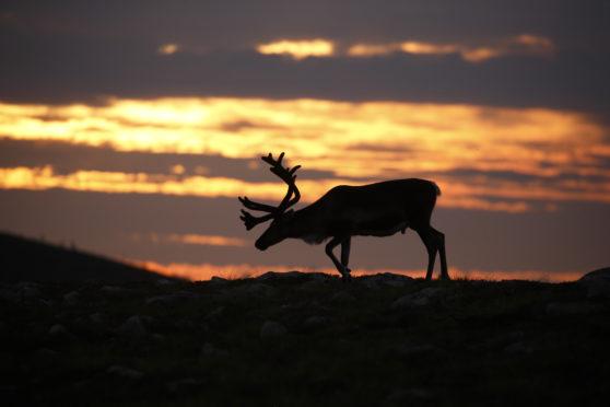 Reindeer sunset (Credit - Neil McIntyre)