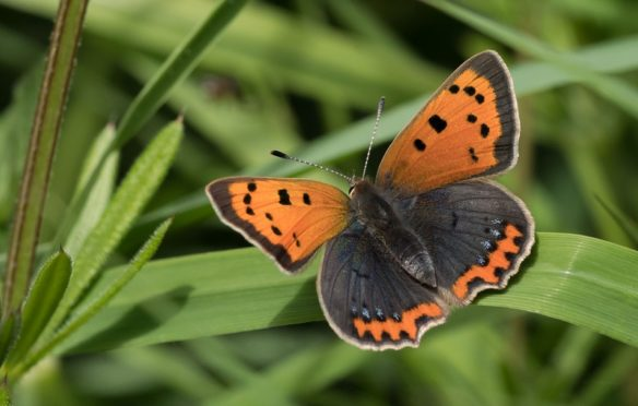 Small Copper numbers have fallen in Scotland. Pic: Mairi McIntosh / Butterfly Conservation.