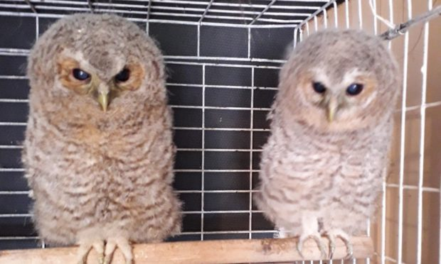 The tawny owls were first discovered amongst timber at Pennyghael pier.