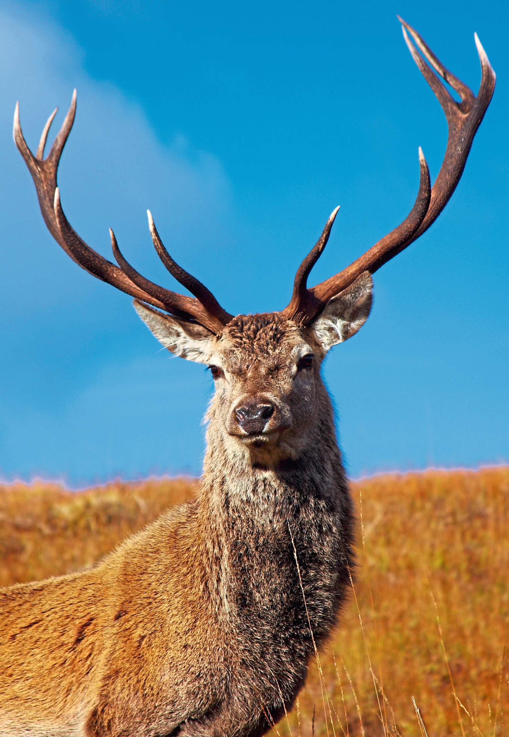 Red Deer Stag in Autumn.; Shutterstock ID 64027300; Purchase Order: -  Red stag