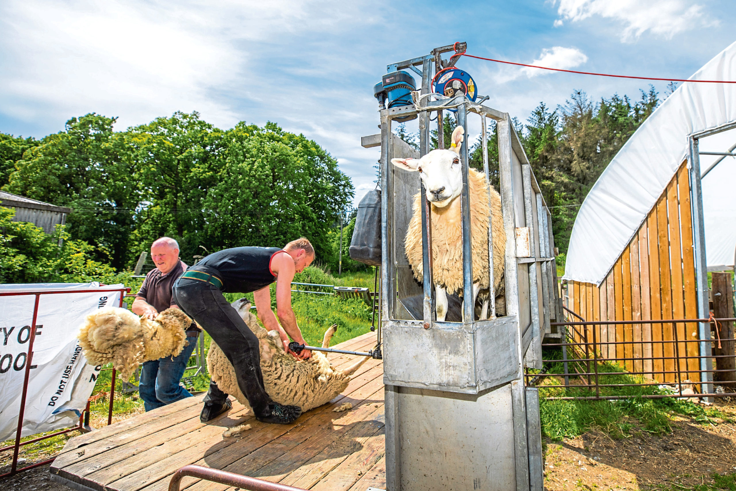 Stewart Kennedy, who is shearing more local flocks than usual, at work with his dad Roddy in Aberfeldy.