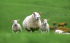 The events have been organised by the National Sheep Association.