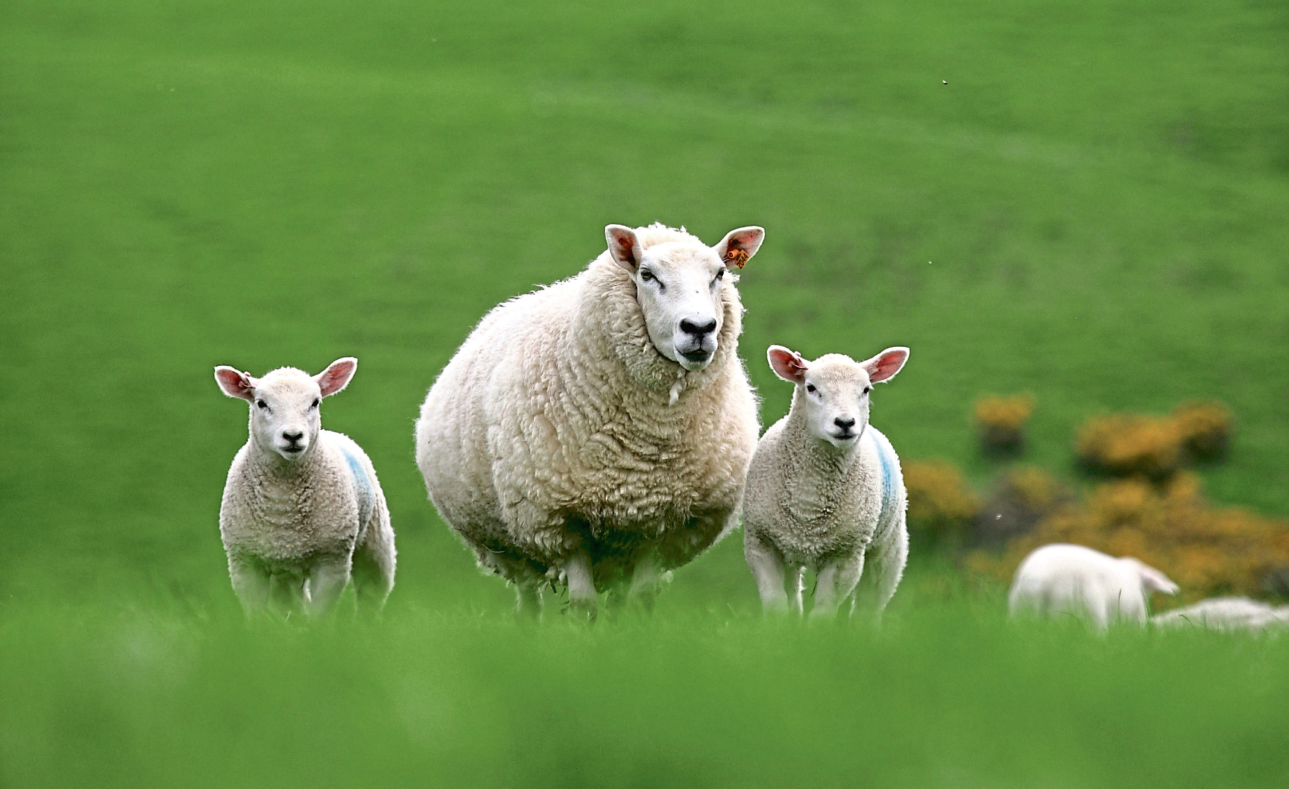 AB Europe says the service will help breeders increase the rate of genetic gain in their flocks.